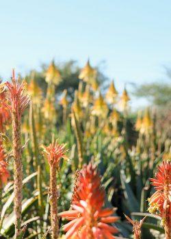 Rooiklip Nursery Aloes